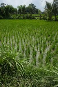 Campi di riso e la poco invitante fanga